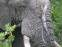 Elephant_2_hk