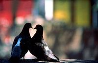 Pigeons_5_1